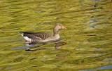 14909 - Duck / ? - London - England