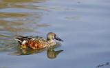 15036 - Duck / Kew Gardens - Richmond - England
