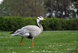 15083 - Duck / Kew Gardens - Richmond - England