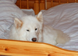 dixie in bed.jpg
