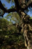 Old Growth Oak
