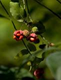 Hearts-A-Bursting (Strawberry Bush)