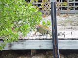 Iguana, Big Pine Key