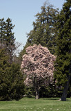 Gettysberg blossoms