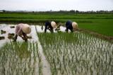 Repiquage du riz, près de Hoi An - Vietnam