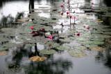 Bassin aux lotus