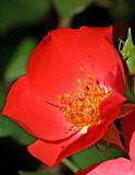 Rose candide