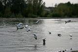 Poissons volants de Loire