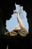 Fromager poussant parmi les ruines