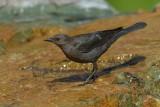 Brewer's Blackbird ~ Female