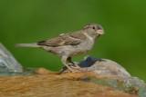 House Sparrow ~ Female