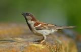 House Sparrow ~ Male