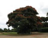 african flame treee.jpg