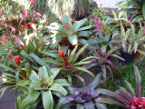 Bromeliad group Madeira