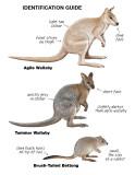 wallaby poster.jpg