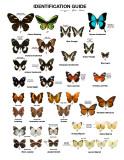 butterfly guide.jpg