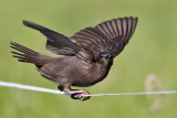 common starling