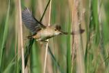 European Reed Warbler