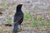 Koltrast Turdus merula Common Blackbird