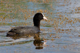 Eurasian Coot (Common Coot)