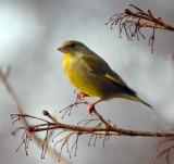 Small and Garden Birds
