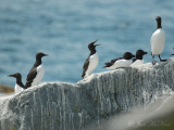 Common Murres (bridled and unbridled)