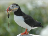 Puffin carrying nest material