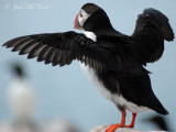 stretching Puffin