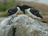 Razorbills pair-bonding