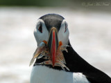 Puffin with a mouthful of shrimp