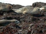 Harbor Seals