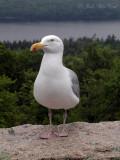 Herring Gull: Larus argentatus