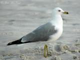 Ring-billed Gull: Larus delawarensis