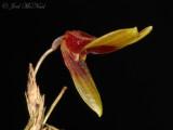 Pleurothallis brighamii