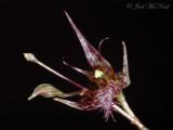 Pleurothallis herpestes