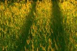 Green foxtail.jpg