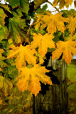 Autumn Leaves And Fence Post