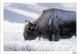 Quiet Bison
