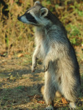 Rosie, The Resident Raccoon