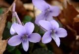 Longspur Violet 1