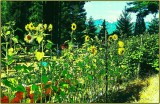 Ah Sunflower