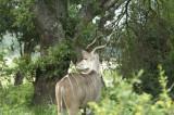 Kruger:  Kudu