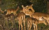 Kruger:  Pack of Impalas
