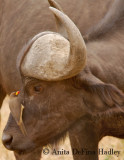 Oxpecker on cape buffalo