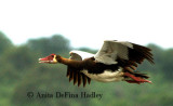 Spur-winged Goose in flight