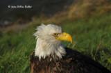 Bald Eagle at Ashokan.jpg
