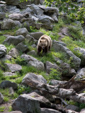 Brown bear (Ursus arctos)
