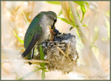 Baby Hummingbird ..eating