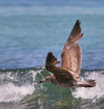 Pacific Gull (juvenille)
