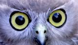 2 Barking Owl.jpg